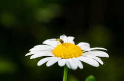 A really amazing unreal camomile. A really beautiful extraordinary camomile in the summer. Quebec, Canada Royalty Free Stock Photography