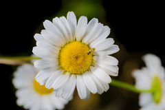 A really amazing unreal camomile. A really beautiful extraordinary camomile in the summer. Quebec, Canada Royalty Free Stock Photo