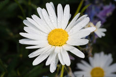 A really amazing unreal camomile. A really beautiful extraordinary camomile in the summer. Quebec, Canada Stock Photo