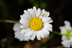 A really amazing unreal camomile. A really beautiful extraordinary camomile in the summer. Quebec, Canada Royalty Free Stock Image