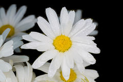 A really amazing unreal camomile. A really beautiful extraordinary camomile in the summer. Quebec, Canada Stock Image