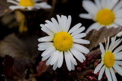 A really amazing unreal camomile. A really beautiful extraordinary camomile in the summer. Quebec, Canada Royalty Free Stock Images