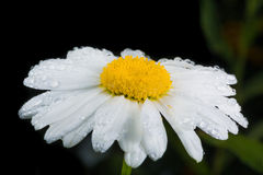A really amazing unreal camomile. A really beautiful extraordinary camomile in the summer. Quebec, Canada Royalty Free Stock Photos