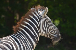 Amazing Up Close Look at a Zebra in the Wild. Zebra with long whiskers on his chin Stock Images