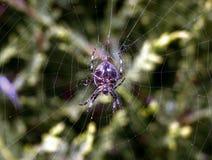 Amazing up close macro of garden spider common hanging on web Stock Image