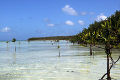 Amazing vacation pure Cuba. The mangrove forest in a Caribbean royalty free stock image