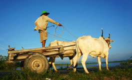 Amazing Vietnamese rural, Asian, cow wagon Stock Image