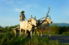Amazing Vietnamese rural, Asian, cow wagon Royalty Free Stock Images