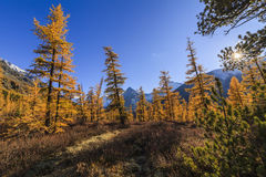Amazing view of the Altai mountains and yellow forest. Royalty Free Stock Photos
