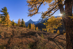Amazing view of the Altai mountains and yellow forest. Royalty Free Stock Images