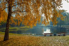 Amazing view of autumn park with beautiful yellow birch trees. Park benches on the shore of the pond royalty free stock photos