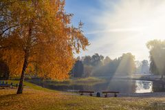 Amazing view of autumn park with beautiful yellow birch trees in the rays of the sun. Park benches on the shore of the pond royalty free stock images