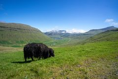 Amazing view of black sheep eating green glass up the hill with royalty free stock image