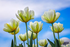 Amazing view of colorful tulip flowering in the garden Royalty Free Stock Image