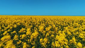 Amazing view of field covered with rows of bright rapeseed flowers against the blue sky in warm summer day. Shot stock photos