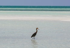 Amazing view of lonely bird walking in the ocean at Cayo Coco island, Cuba, on sunny day Royalty Free Stock Photography
