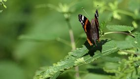 A nice striped butterfly waves its wing in a forest in summer. An amazing view of a multicolored and striped butterfly which sits on a green twig of some bush in stock video