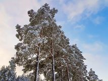 Amazing view of pine tree crown in snow on blue sky background. stock photo
