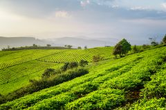 Amazing view of tea plantation. Fantastic summer rural landscape Stock Image