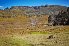 Amazing view with wombat eating grass Stock Photos