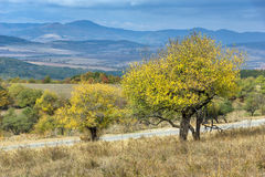 Amazing view of Yellow tree and Autumn view of Cherna Gora mountain, Bulgaria Stock Images