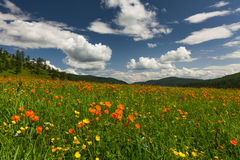 Amazing views of the flowery meadow. On background of the mountains. Orange Globeflowers Royalty Free Stock Images