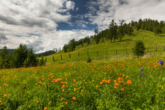 Amazing views of the flowery meadow Stock Images