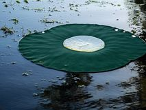 Lilly pads are pretty kool Royalty Free Stock Images