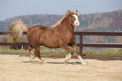 Amazing welsh cob running Stock Photo