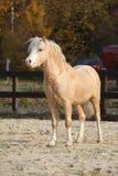 Amazing welsh mountain pony stallion in autumn Royalty Free Stock Images