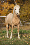 Amazing welsh mountain pony stallion in autumn Stock Image