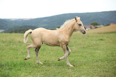 Amazing welsh part-bred foal. On pasturage Royalty Free Stock Photo