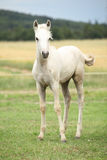 Amazing welsh part-bred foal. On pasturage Royalty Free Stock Image
