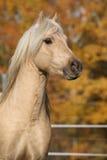 Amazing welsh pony of cob type stallion Stock Photos