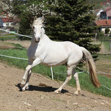 Amazing white andalusian mare Royalty Free Stock Images