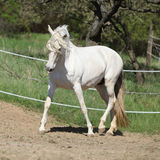 Amazing white andalusian mare Royalty Free Stock Photo