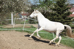 Amazing white andalusian mare Stock Images
