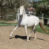 Amazing white andalusian mare Stock Photo