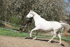 Amazing white andalusian mare Stock Image