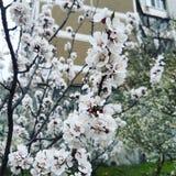 Apricot flowers in Kiev, Ukraine. Amazing white flowers of apricot tree in Kiev, Ukraine royalty free stock photo