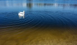 Amazing white Goose Floating in Water with copy space. Royalty Free Stock Photos