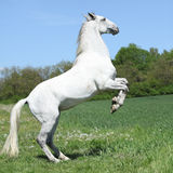 Amazing white lipizzaner prancing in spring Royalty Free Stock Photos