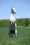 Amazing white lipizzaner prancing in spring Royalty Free Stock Image