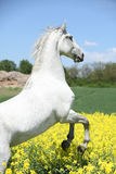 Amazing white lipizzaner prancing in spring. Amazing white lipizzaner stallion prancing in spring stock image