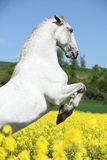 Amazing white lipizzaner prancing in spring Stock Images