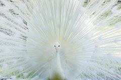 Amazing white peacock opening its tail. Amazing white peacock opening its beautiful tail royalty free stock images