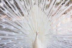 Amazing white peacock opening its tail. Amazing white peacock opening its beautiful tail royalty free stock photos