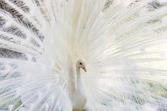 Amazing white peacock opening its tail. Amazing white peacock opening its beautiful tail royalty free stock photography