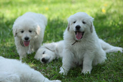 Amazing white puppies of Slovakian chuvach lying in the grass Stock Photos