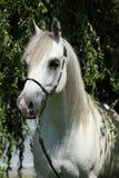 Amazing white shagya arab in nature Stock Image